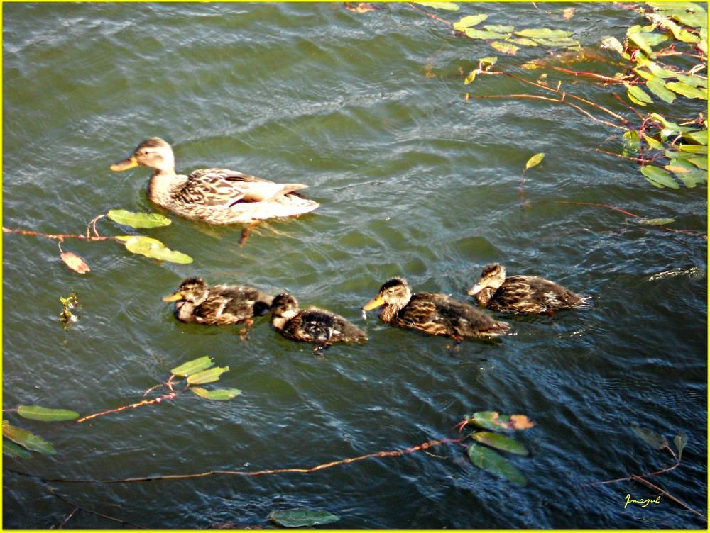 Familia de patos. by Jomazul Varela