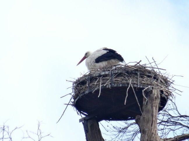 Ooievaar op nest in Wageningen