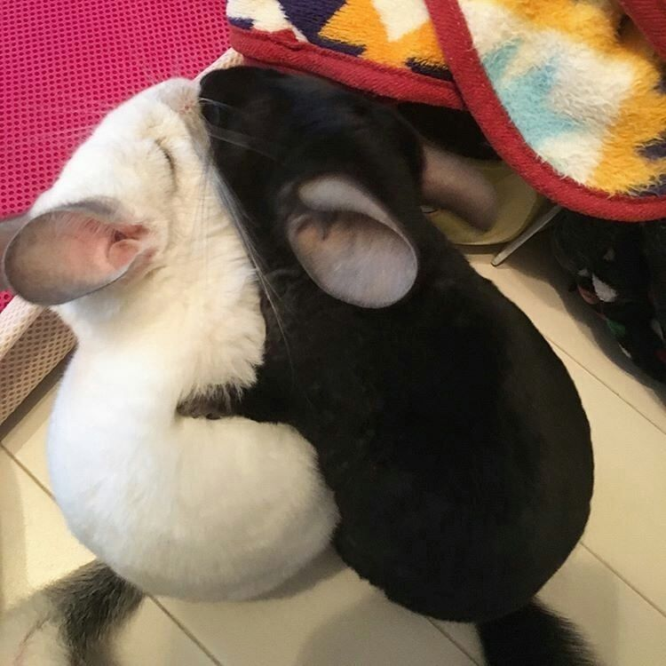 Wow!  Chinchilla Hugs!  Use #dailychinchillas to be featured!  Credits to:  @m2s2k6