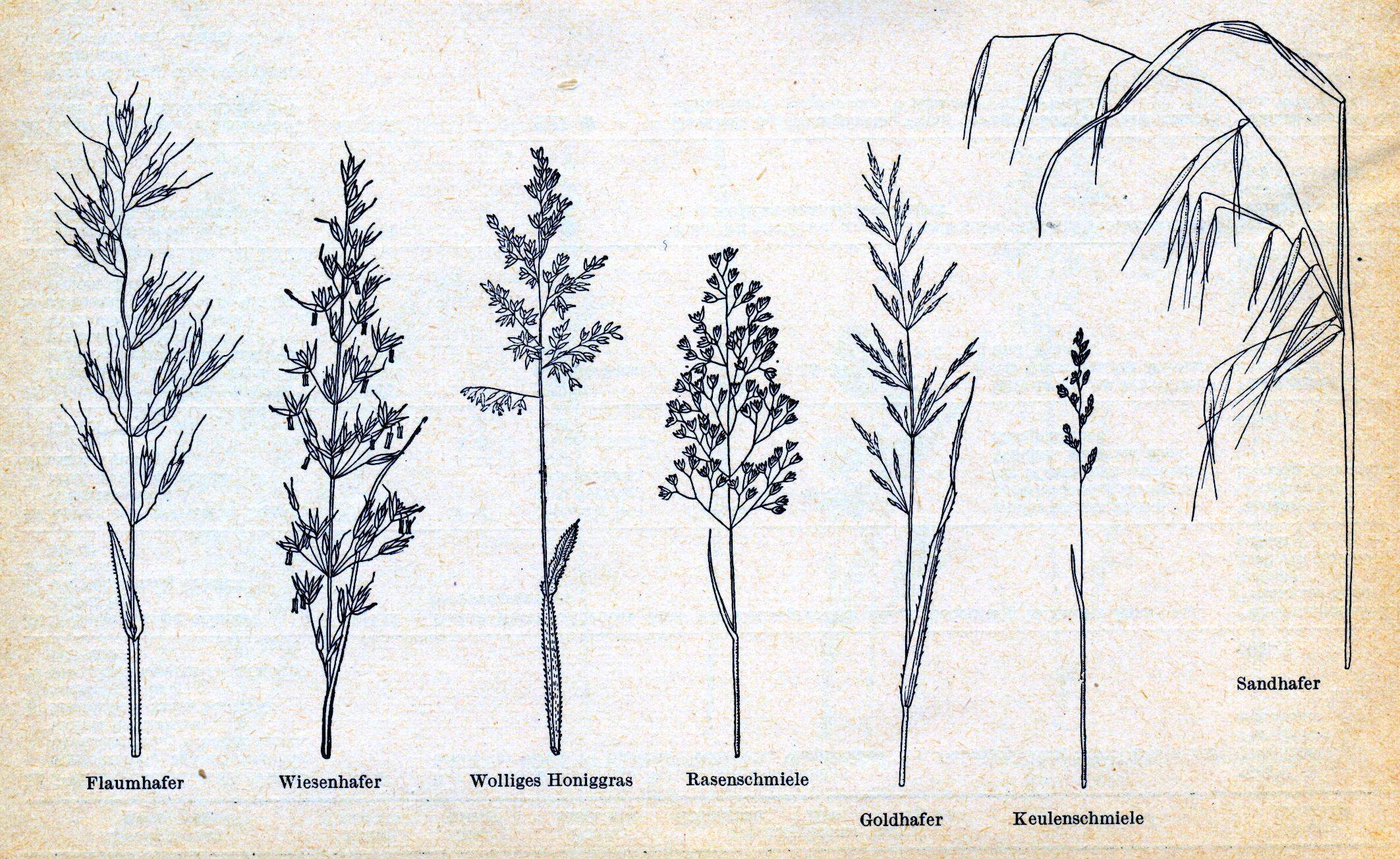 gräser   Gras zeichnen, Gras malen
