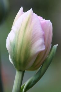 The lovely gentle pink Tulip 'Angelique'