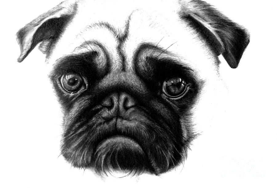 Realistic Pencil Drawing Of A Pug Dog By Debbie Engel Realistic