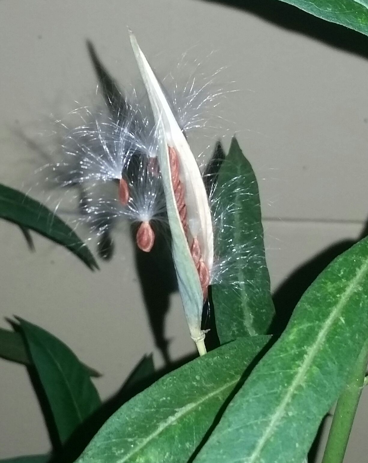 Butterfly Weed seed pod ready to harvest
