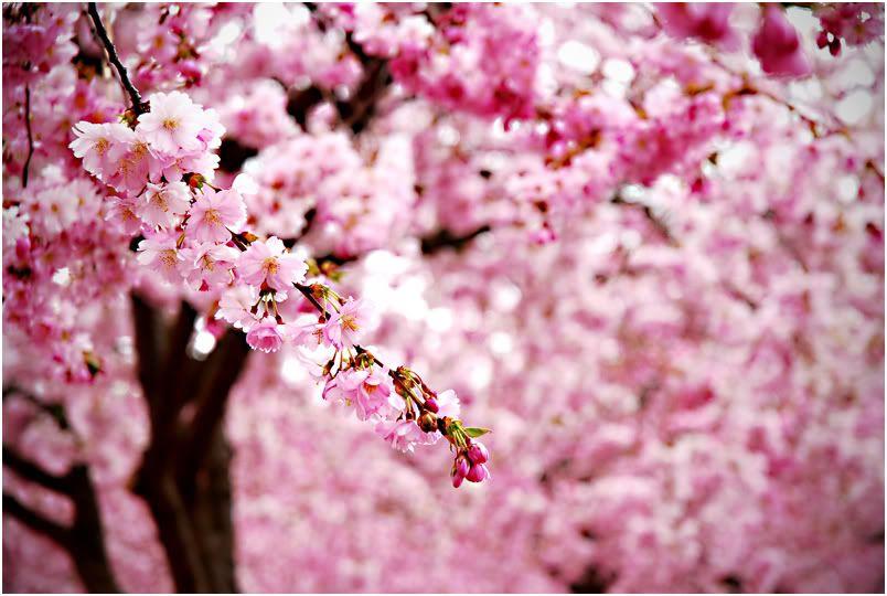 Ode To The Cherry Blossom Cherry Blossom Wallpaper Cherry Blossom Painting Pink Blossom Tree
