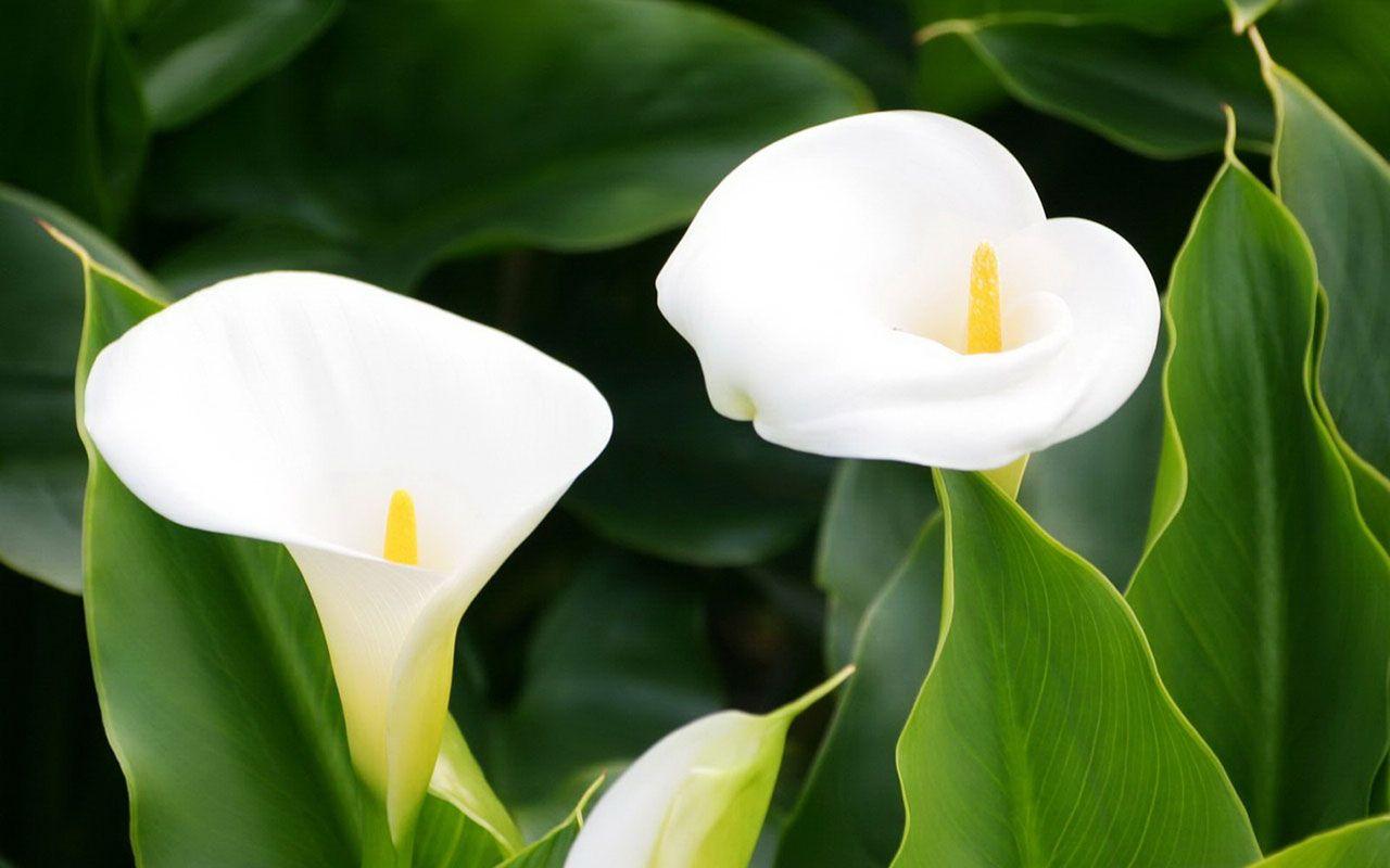 Calla Lilies Wallpaper 21019 1280x800 Px Hdwallsource Com Calla Lily Lily Wallpaper Calla Lily Flowers