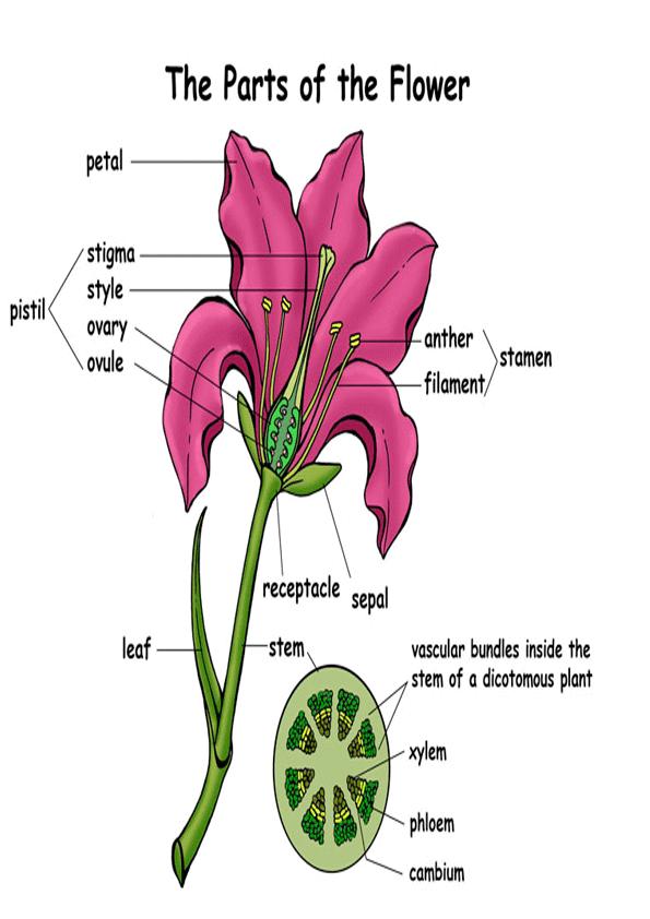 Partes de la flor en ingles para imprimir imagenes y for Imagenes de las partes del arbol
