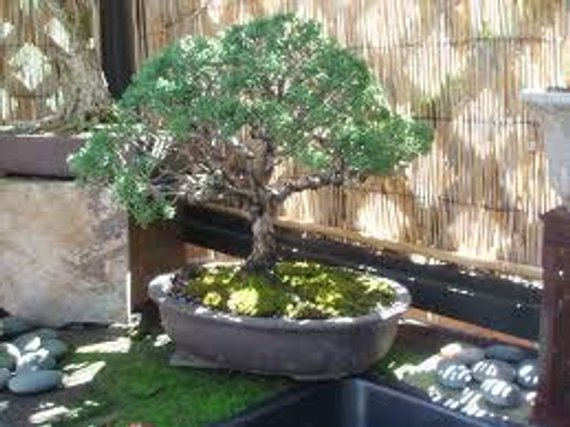 Chaparral Seeds, Creosote, Medicinal Herb, Hediondilla