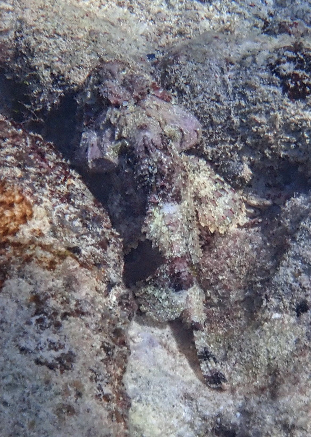 Spotted Scorpionfish from Long Caye, Glover's Reef Atoll, Belize on December 07, 2019 by kayakmak · iNaturalist