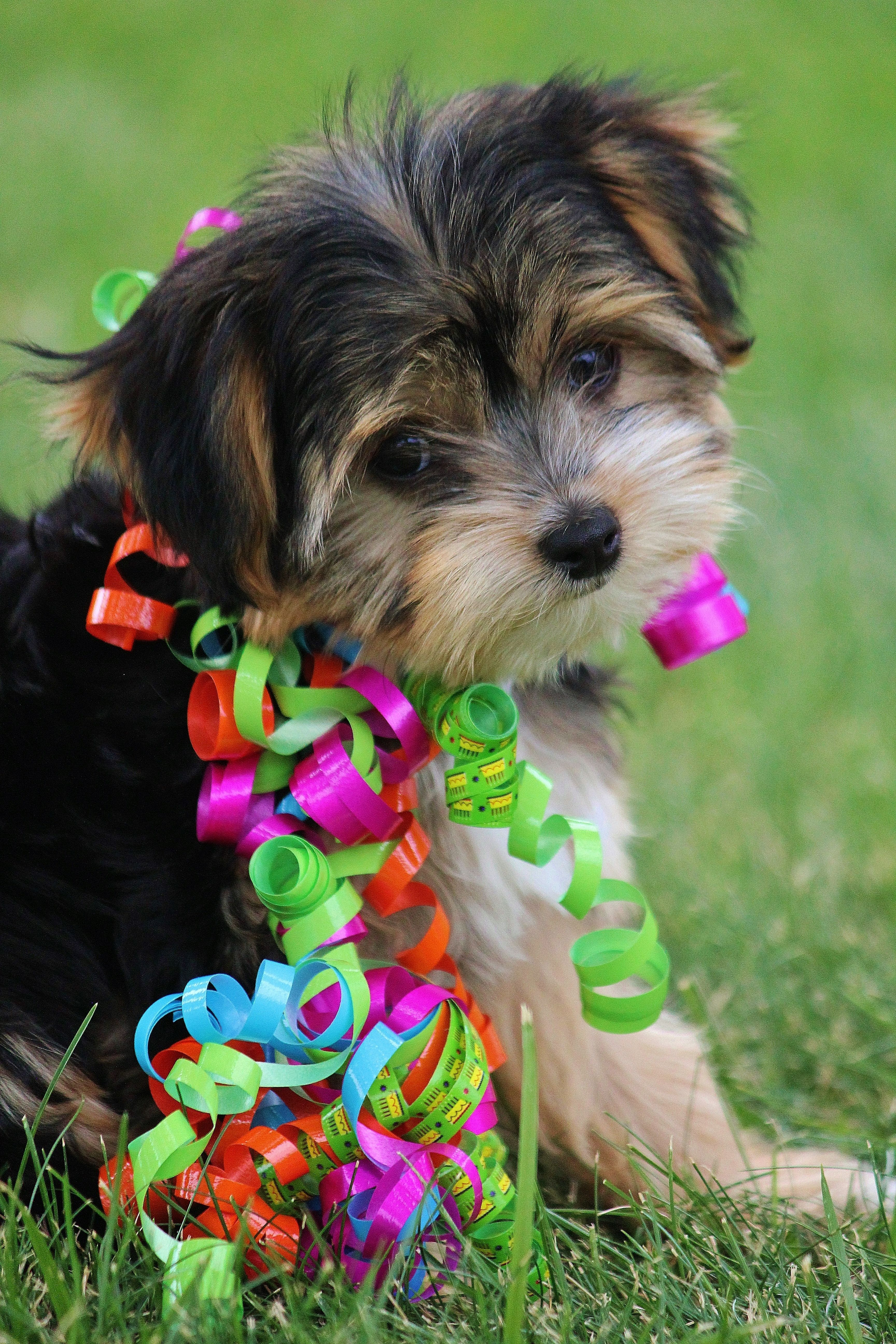 Aly Our Little Yorkie Wawa Yorkshire Terrier Mixed With Long Haired Chihuahua Pitbull Terrier Cute Animals Yorkie