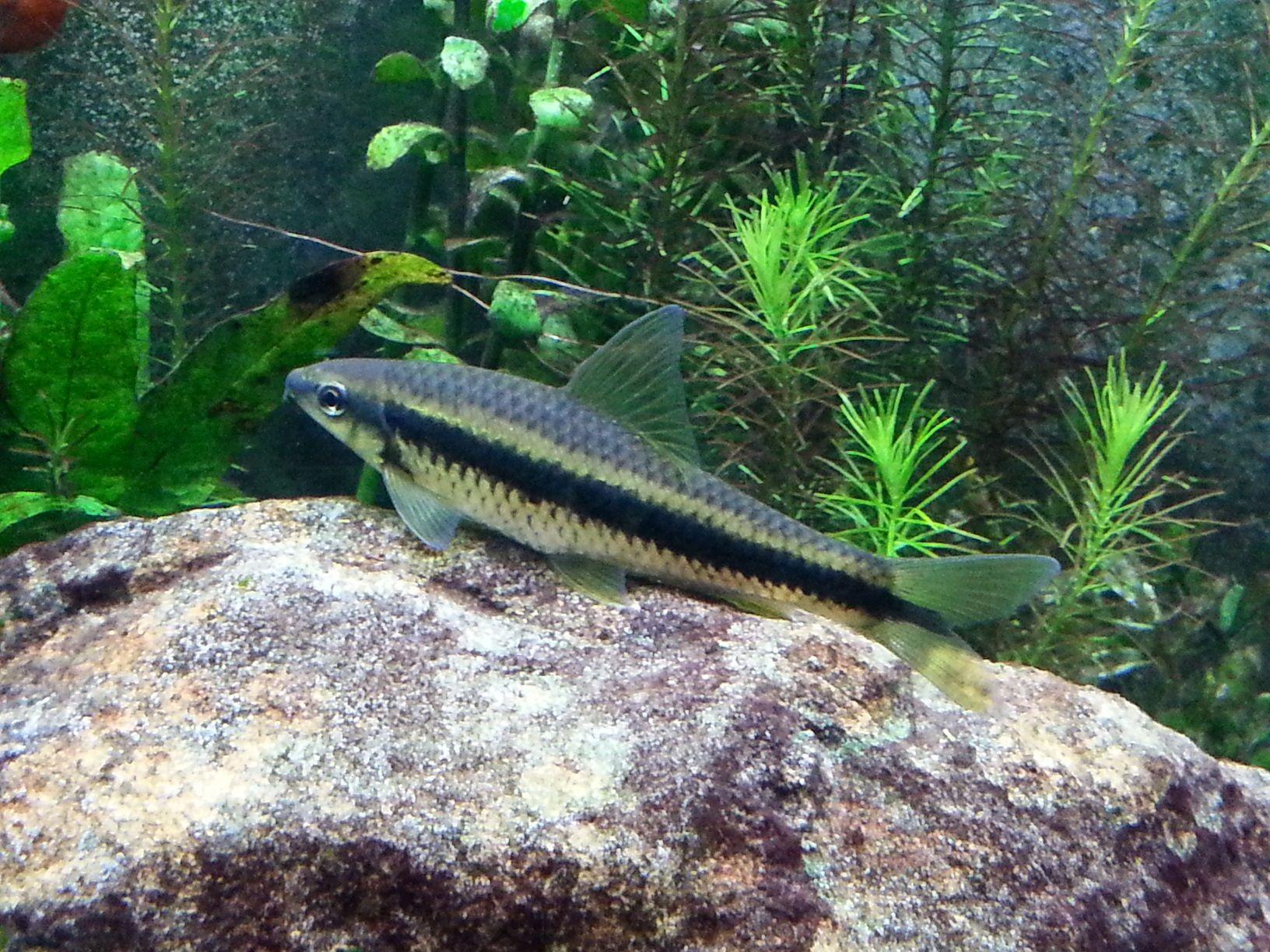 13 Best Algae Eaters For Your Aquarium Keep The Aquarium Clean Tag Best Algae Eaters Aquarium Best Algae Eaters For Aquariums Aquarium Aquascape Fish Pet