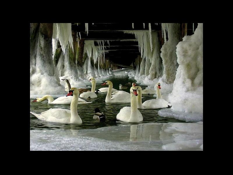 cisnes en el hielo
