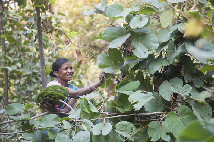 Forest to Feast The Siali Leaf Value Chain