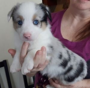 3 Puppies Left Augi S For Sale Corgi X Australian Shepherd