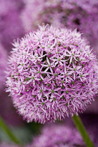 Jos on tummaa lilaa ja valkoista, väliin sopinee sävy siltä väliltä. Näitäkin perennapenkissä muiden ukonlaukkojen kanssa. #allliumaflatunense