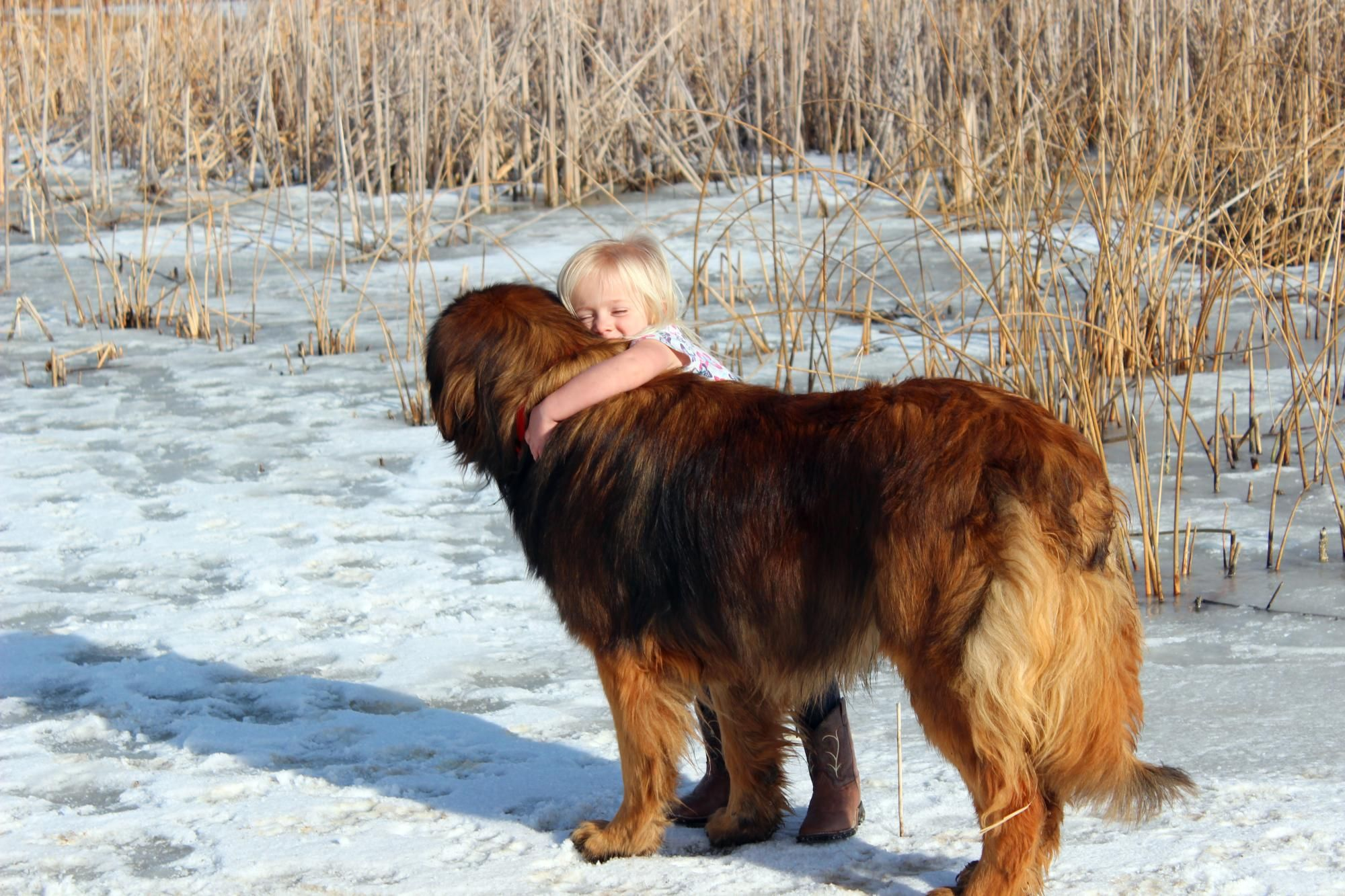 Leonberger breeder - Leo's make amazing family dogs! They ...