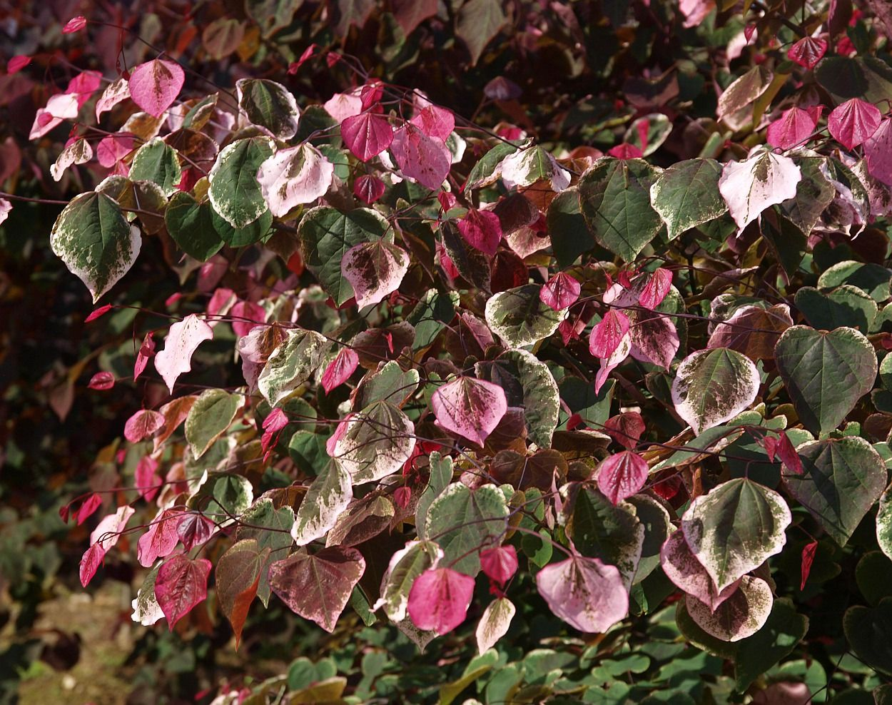 Cercis Canadensis Carolina Sweetheart Redbud Tree Variegated Plants Deer Resistant Plants