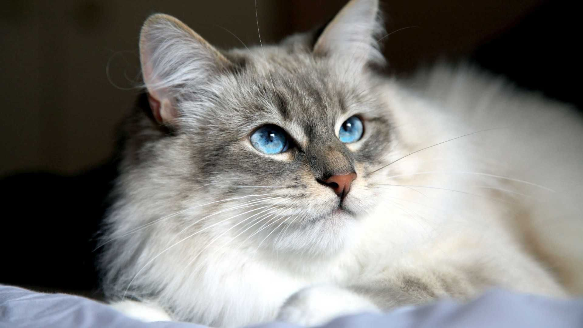 The Siberian Cat catbreeds catfacts catimages