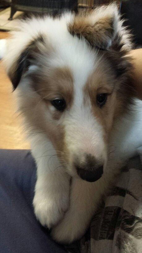 Harlequin Sable Merle Collie Puppy Cheramore Collies