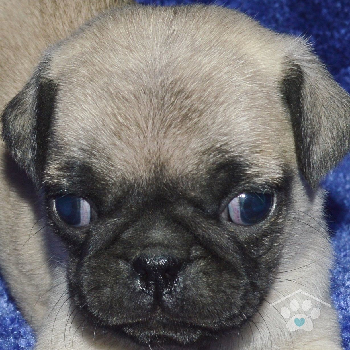 Meet Frank He Is An Adorable Male Fawn Pug Puppy With A Black