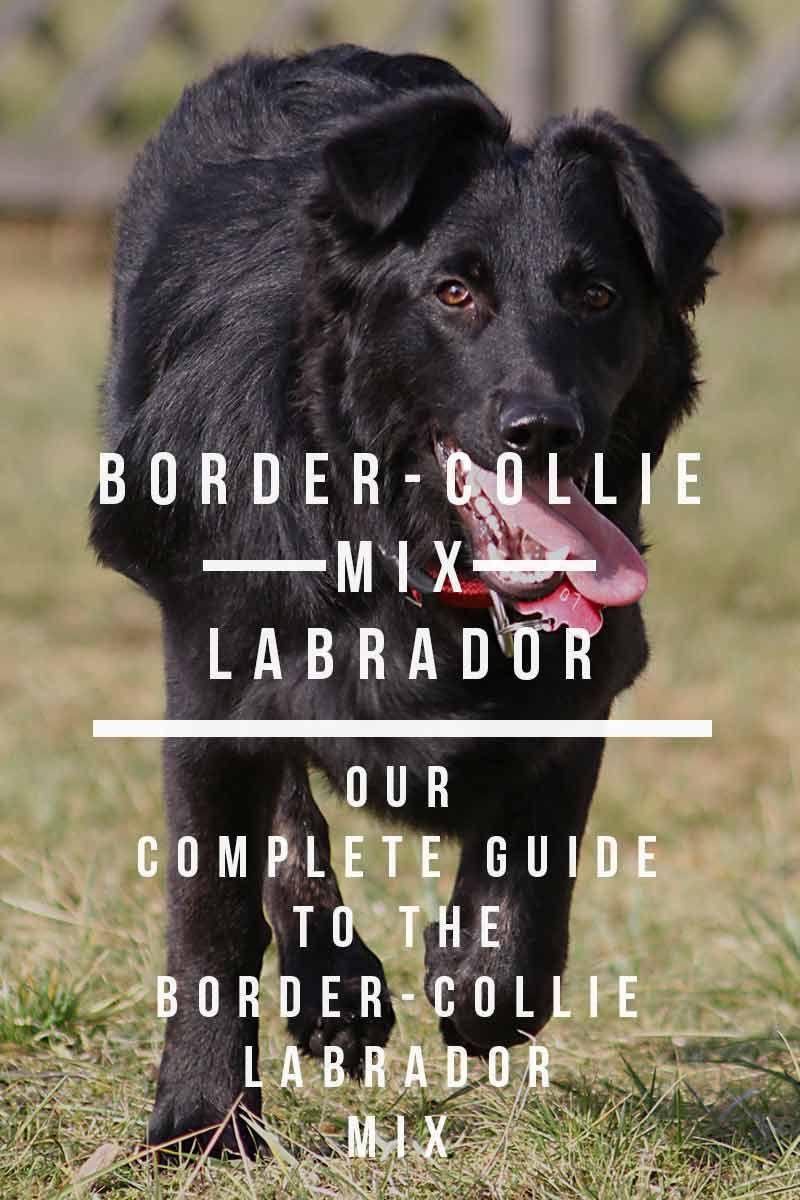 Border Collie Lab Mix Information Center A Guide To The Borador Border Collie Lab Mix Border Collie Puppy Training Border Collie