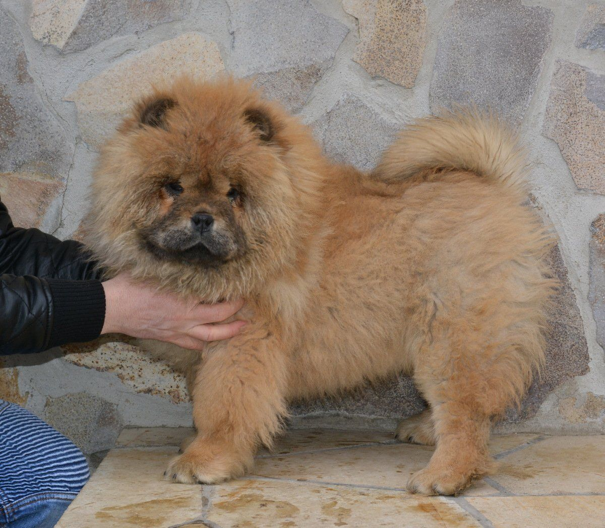 Jasmin Queen Chow Chow Puppy For Sale Euro Puppy Chow Chow Pure Breed Bear And Lion Type Pets For Sale Dog In 2020 Pure Breed Dogs Chow Puppies For Sale Pets