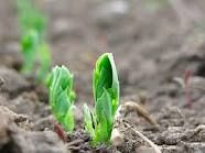 Just planted sugar peas in my garden.  Can't wait!