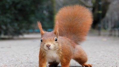 Esquilo-vermelho está de regresso a Portugal após extinção de séculos