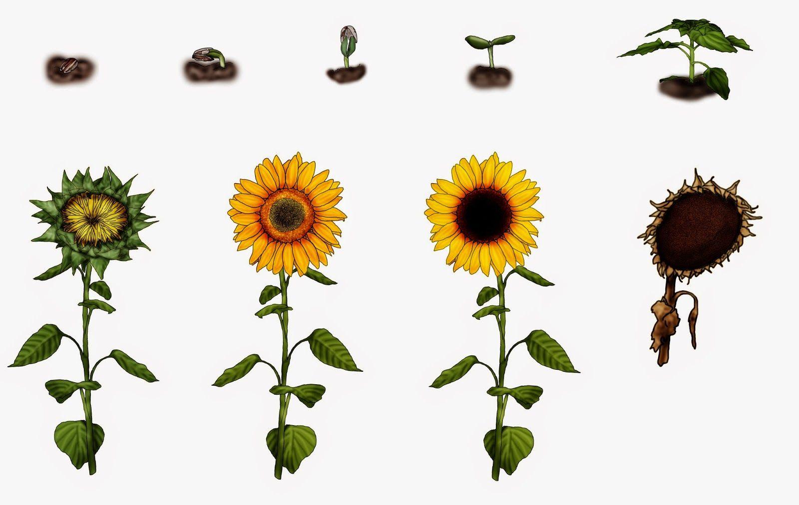 krabbelwiese: Entwicklung der Sonnenblume | cykle | Pinterest ...