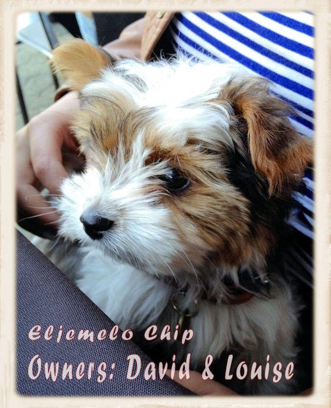 My Puppy Eljemelo Biewer Terriers And Yorkshire Terriers Yorkies