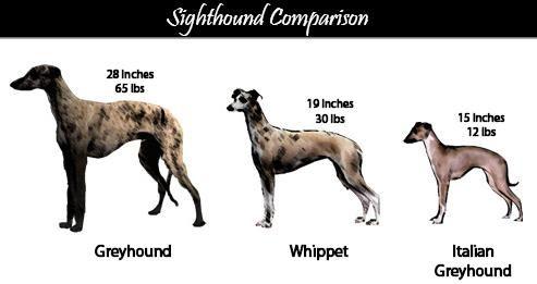 Google Image Result for http://screamincutie.files.wordpress.com/2007/12/greyhound-comparison.jpg