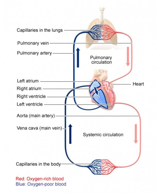 Pin On Circulatory Cycle