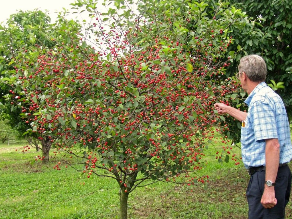 All About Dwarf Fruit Trees Starkbros Planting Growing Within Grow And Care Ornamental Cherry Tips To