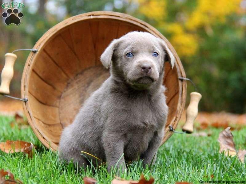 Hazel Silver Lab Puppy Puppies Silver Lab Puppies Greenfield