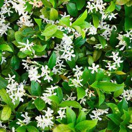 White flowering bushes flowering bushes and white flowering shrubs white flowering bushes mightylinksfo