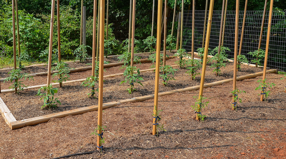 How To Grow Your Own Tomatoes Part 3 Staking Training 400 x 300