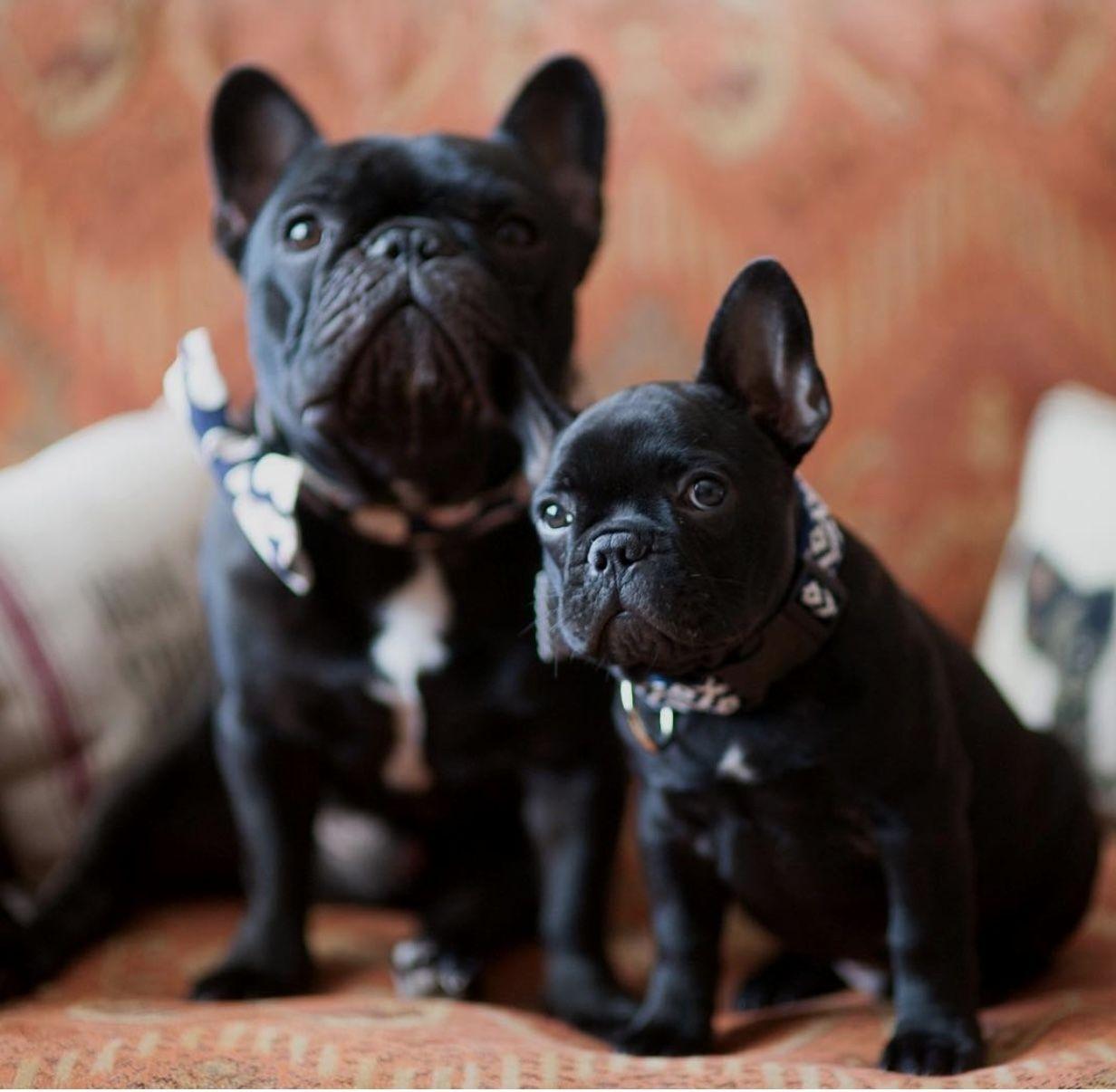AuggieandTeddy buldog French bulldog puppies, French