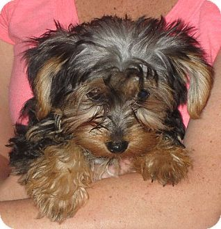 Rochester Ny Yorkie Yorkshire Terrier Meet Ingrid A Puppy For Adoption Yorkshire Terrier Yorkie Terrier