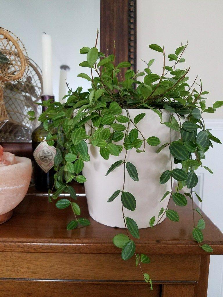 Peperomia Plant Care Page   Houseplants   Peperomia plant ...