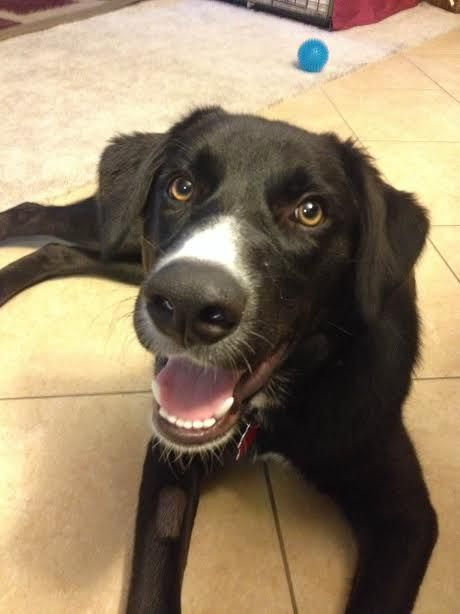 Meet Angie She Is A Beautiful Border Collie Lab Mix With A Soft