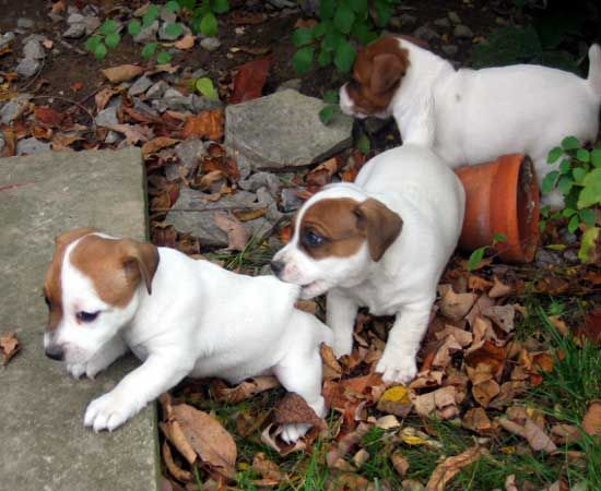 Jack Russell Puppies Playing Jack Russell Terrier Jack Russell