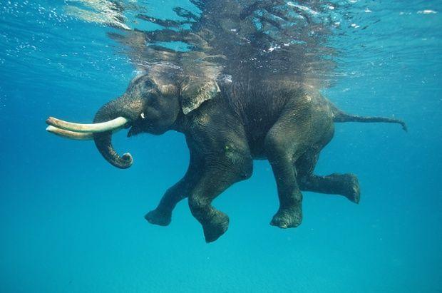 Elephants love to swim.