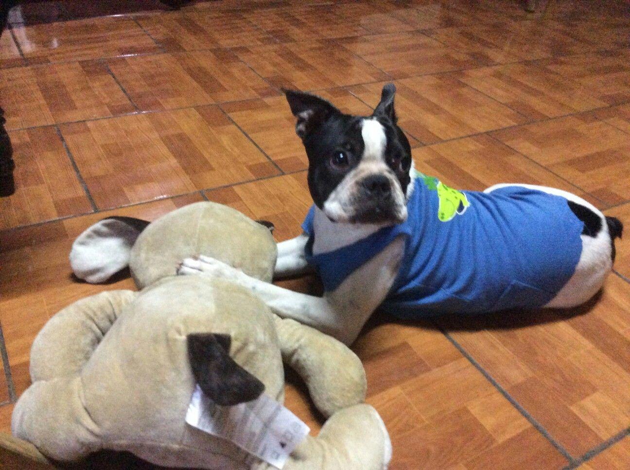Pin By Mercedes Murcia On Clover Dario Boston Terrier Terrier Dogs