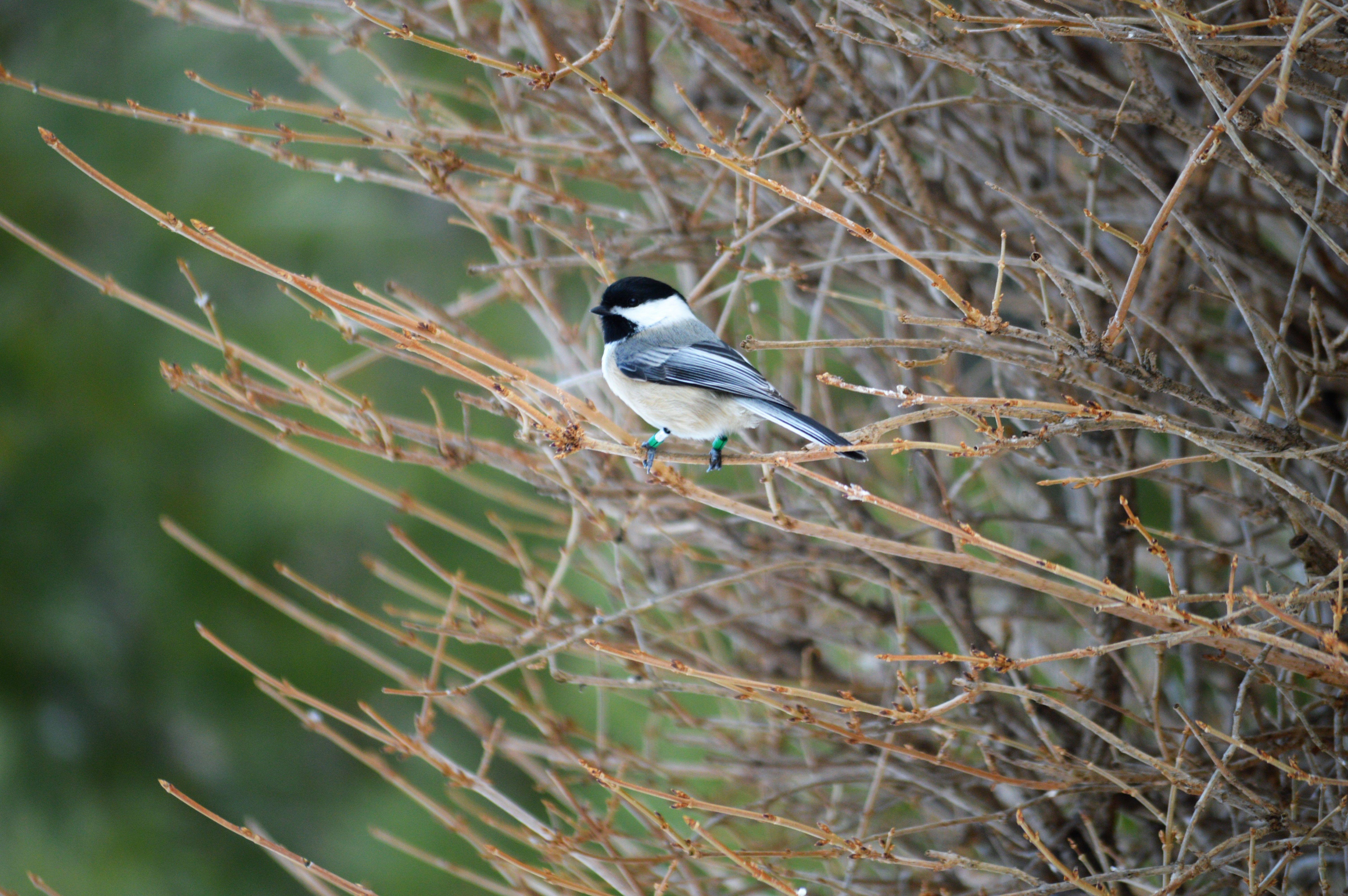 Feb 16-19 2018 GBBC | Great Backyard Bird Count | Great ...
