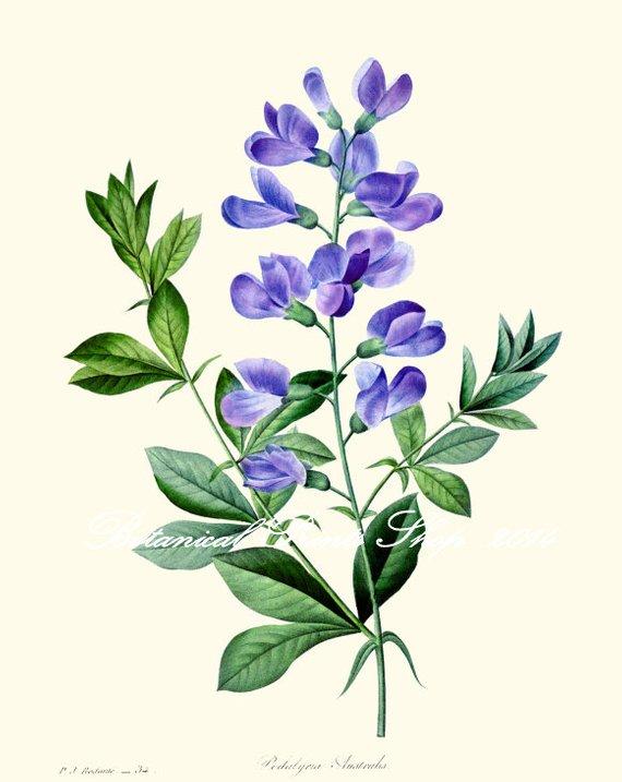 Sweet Pea Print 3 Botanical Blue Flower Wall Art 5x7 8x10 11x14 13x19