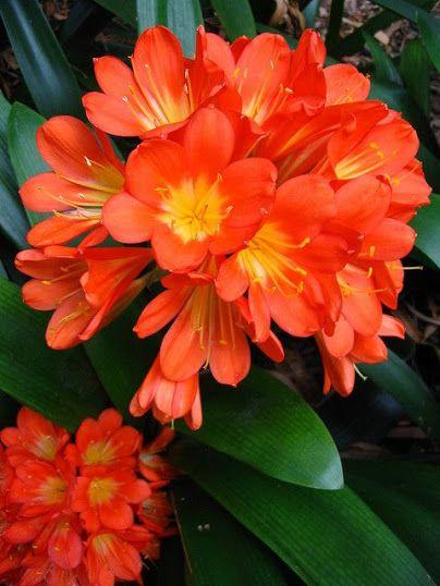 Vibrant Orange Kaffir Lillies expensive and beautiful