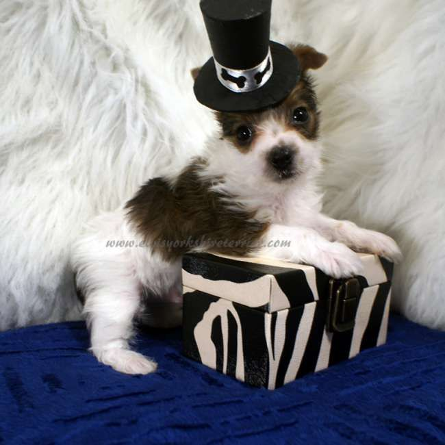 Teacup Parti Yorkie Puppy For Sale In Ironton Mo Yorkie Puppy For Sale Yorkie Puppy Teacup Yorkie For Sale
