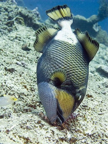 The Titan Trigerfish Never To Be Trusted The Female Is Never Far