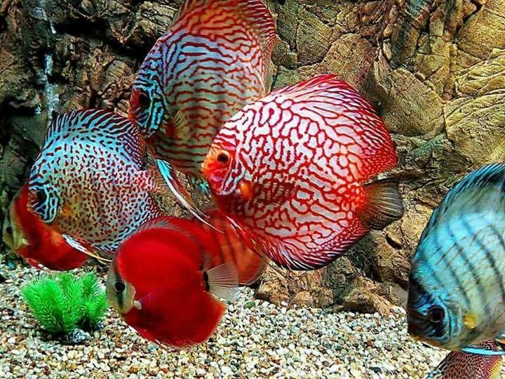 Discus Color Varieties Discus Fish Fish Aquarium Decorations Aquarium Fish