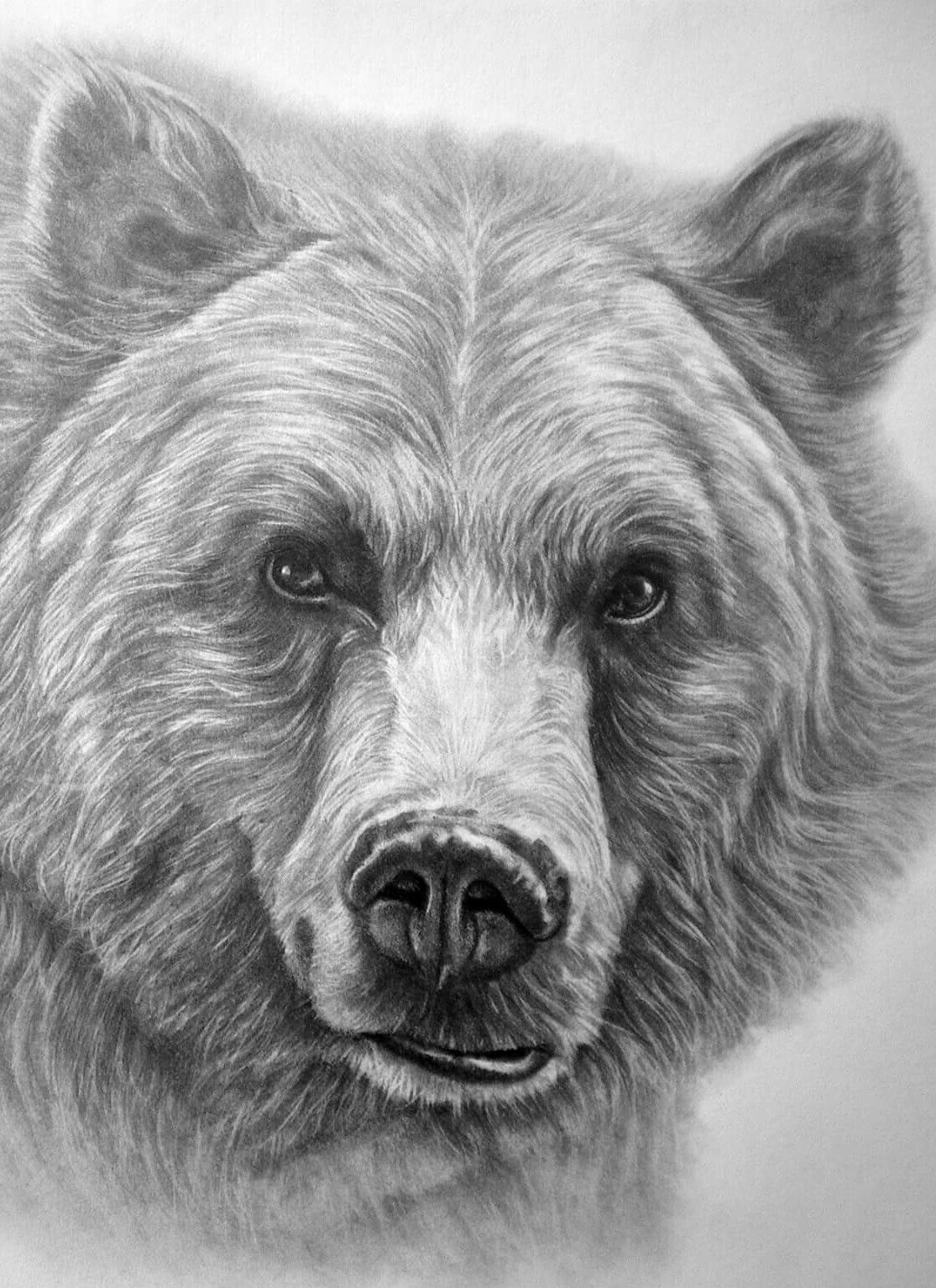 Beautiful grizzly bear drawing