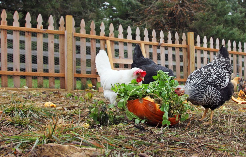5 Reasons You Should Consider Raising Backyard Chickens